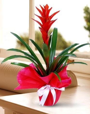 Guzmanya Saksı Çiçeği  Balgat online çiçekçi telefonları