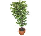 Ficus özel Starlight 1,75 cm   Ankara cicek , cicekci