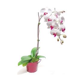 Balgat çiçek gönderme sitemiz güvenlidir  Saksida orkide