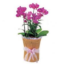 Balgat Ankara online çiçek gönderme sipariş  saksi iiçerisinde 3 dal orkide