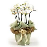 Ankara internetten çiçek satışı  3 dal orkide , saksi çiçegi , 3 kök orkide