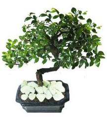 9 yasinda Bonsai agaci  yurtiçi ve yurtdışı çiçek siparişi