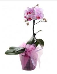 1 dal pembe orkide saksı çiçeği ww26w