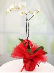 1 dal beyaz orkide saksı çiçeği  yurtiçi ve yurtdışı çiçek siparişi