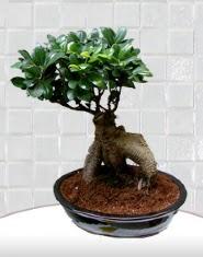 saksı çiçeği japon ağacı bonsai ww26w
