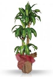 Dr.massengena saksı 3 lü  hediye sevgilime hediye çiçek