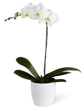 1 dallı beyaz orkide  Balgat Ankara çiçek online çiçek siparişi