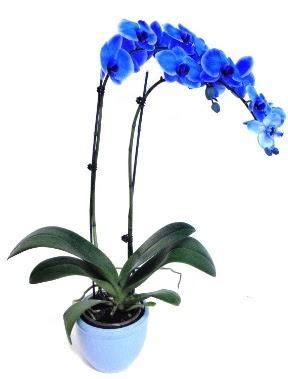 Seramikli 2 dallı süper eşsiz mavi orkide  Ankara çiçek servisi , çiçekçi adresleri