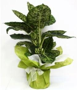 Difenbahya Marianne orta boy  Balgat Ankara çiçek online çiçek siparişi