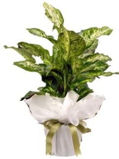 Difenbahya Mars Küçük boy  Ankara çiçek servisi , çiçekçi adresleri