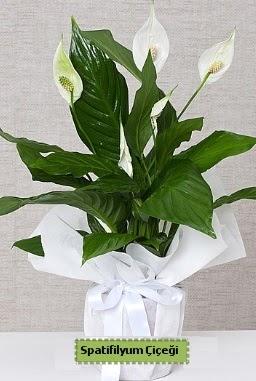 Spatifilyum Orta boy Saksı çiçeği  hediye sevgilime hediye çiçek