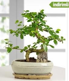 S şeklinde ithal gerçek bonsai japon ağacı  Balgat Ankara çiçek siparişi sitesi