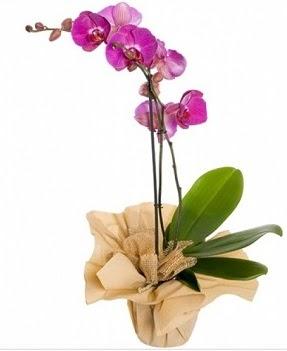 Tek dal mor orkide  Ankara İnternetten çiçek siparişi