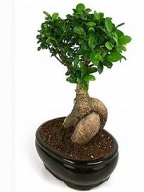 Bonsai saksı bitkisi japon ağacı  Ankara internetten çiçek satışı