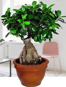5 yaşında japon ağacı bonsai bitkisi  Balgat online çiçek siparişi vermek