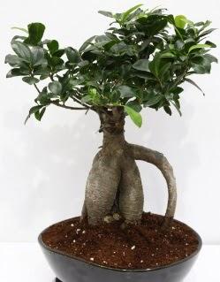 Japon ağacı bonsai saksı bitkisi  Balgat online çiçekçi telefonları