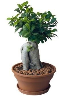 Japon ağacı bonsai saksı bitkisi  Balgat çiçek gönderme sitemiz güvenlidir