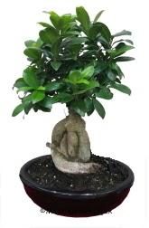 Japon ağacı bonsai saksı bitkisi  Balgat  ucuz çiçek , çiçekçi , çiçekçilik
