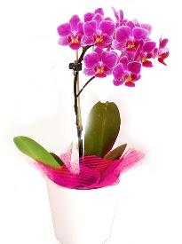 Tek dallı mor orkide  Balgat Ankara çiçek gönderme