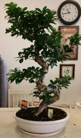 100 cm yüksekliğinde dev bonsai japon ağacı  balgat çiçek siparişi Ankara çiçek yolla