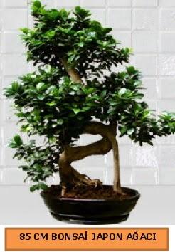 85 CM Japon ağacı Bonsai saksı bitkisi  Balgat  ucuz çiçek , çiçekçi , çiçekçilik