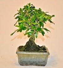 Zelco bonsai saksı bitkisi  Ankara çiçek servisi , çiçekçi adresleri