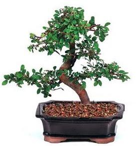 İthal bonsai japon ağacı  Ankara internetten çiçek satışı
