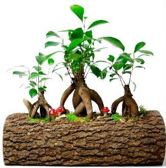 Doğal kütük içinde 3 Bonsai Japon ağacı  Balgat Ankara çiçek siparişi sitesi