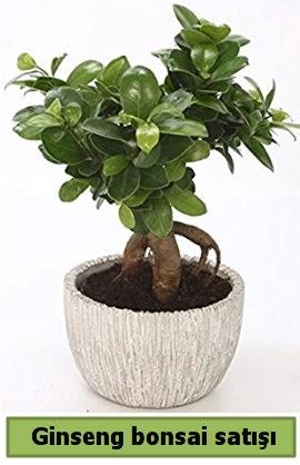 Ginseng bonsai japon ağacı satışı  Balgat Ankara çiçek gönderme
