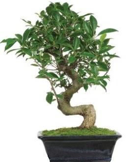 Bonsai saksı bitkisi japon ağacı  Balgat Ankara online çiçek gönderme sipariş