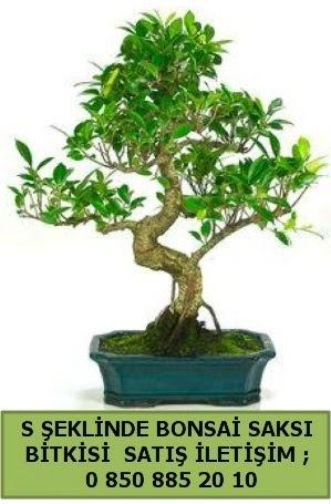 İthal S şeklinde dal eğriliği bonsai satışı  Balgat çiçek gönderme sitemiz güvenlidir