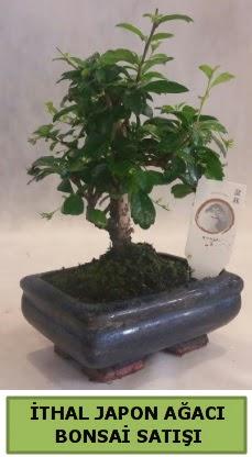 İthal japon ağacı bonsai bitkisi satışı  Balgat Ankara çiçek gönderme