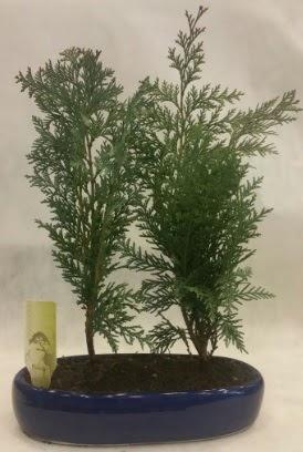 SINIRLI SAYIDA Selvi Ağacı bonsai ikili  Balgat Ankara çiçek gönderme