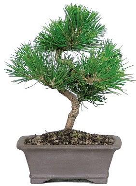 Çam ağacı bonsai japon ağacı bitkisi  Balgat çiçek gönderme sitemiz güvenlidir