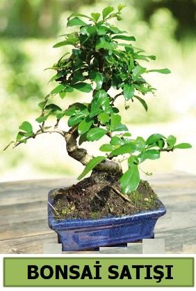 Çam bonsai japon ağacı satışı  çiçek satışı ankara balgat çiçekçi