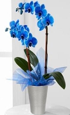Seramik vazo içerisinde 2 dallı mavi orkide  Ankara çiçekçiler hediye çiçek yolla
