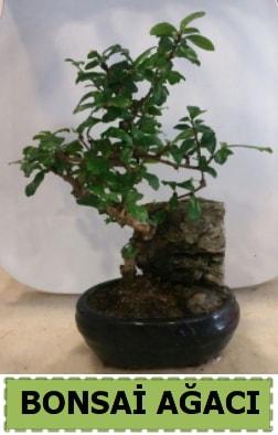 Bonsai ağacı japon ağacı satışı  Balgat Ankara uluslararası çiçek gönderme