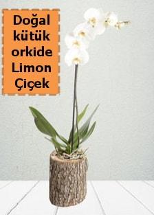 Doğal kütükte tek dallı beyaz orkide  Balgat Ankara çiçek gönderme