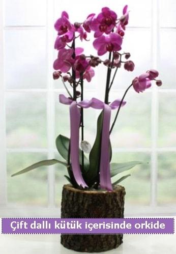 Doğal natürel kütük içerisinde 2 dallı orkide