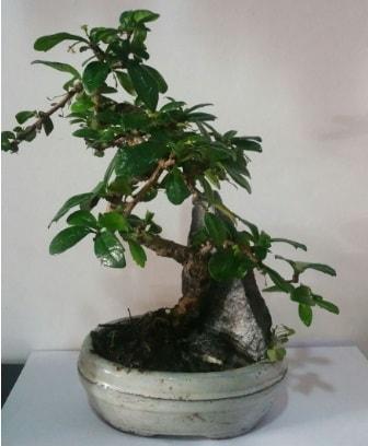 S şeklinde ithal bonsai ağacı  Balgat online çiçekçi telefonları