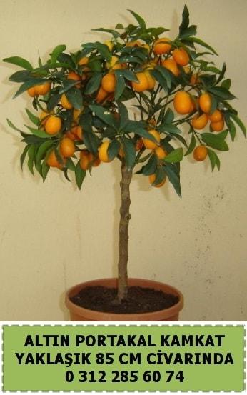 Altın portakal Kamkat ağacı bitkisi  Balgat çiçek gönderme sitemiz güvenlidir