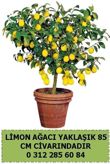 Limon ağacı bitkisi  çiçek satışı ankara balgat çiçekçi