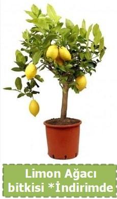 Limon ağacı bitkisi Ev için limon bitkisi  Ankara çiçekçiler hediye çiçek yolla