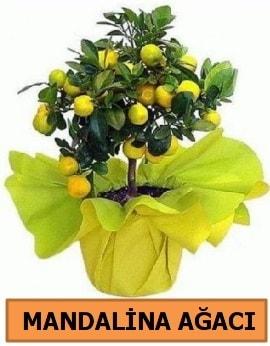 Mandalina ağacı Mandalina bitkisi  Balgat çiçek gönderme sitemiz güvenlidir