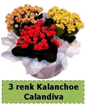 3 renk Kalanchoe Calandiva saksı bitkisi  Balgat çiçek gönderme sitemiz güvenlidir
