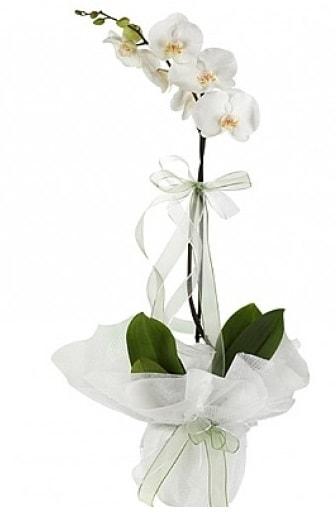 Tekli Beyaz Orkide  Balgat Ankara uluslararası çiçek gönderme