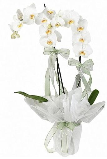 Çift Dallı Beyaz Orkide  hediye sevgilime hediye çiçek