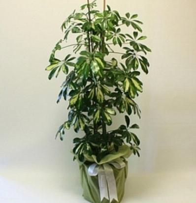 Şeflera salon bitkisi  Balgat çiçek gönderme sitemiz güvenlidir