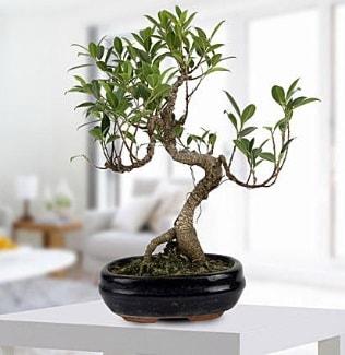 Gorgeous Ficus S shaped japon bonsai  yurtiçi ve yurtdışı çiçek siparişi