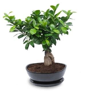 Ginseng bonsai ağacı özel ithal ürün  Balgat Ankara çiçek siparişi sitesi